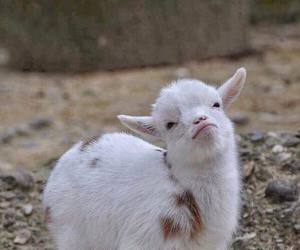 animal, cute, and goat image