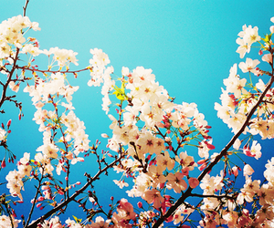 cherry blossom tree, beautiful, and blue image