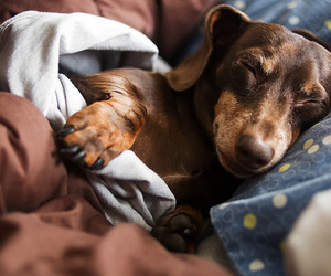 dachshund, dog, and sleeping image