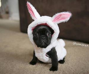 french bulldog, frenchie, and puppy image