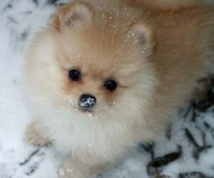 cute animals, dogs, and pomeranian image
