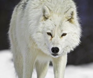 animal, snow, and wolf image
