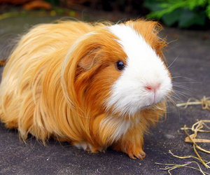 brown, guinea pig, and love them image