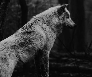 beautiful, black and white, and wolf image