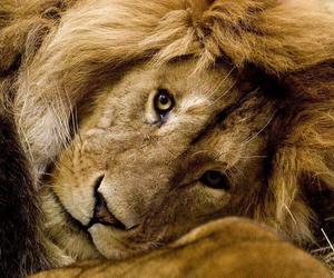 animal, eyes, and lion image