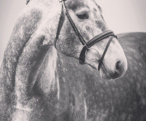 grey, horse, and sport image