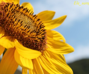 canon, sunflower, and yellow image