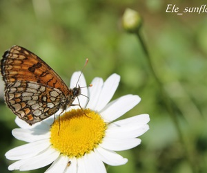 butterfly, canon, and daisy image