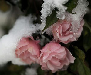 flowers, snow, and season image