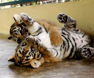 sweet, cute, and baby tigers image