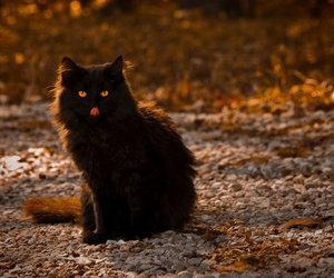 black cat, cat, and Halloween image