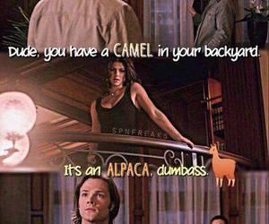 alpaca, camel, and funny image