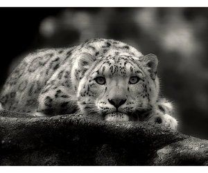 b&w, leopard, and animal image