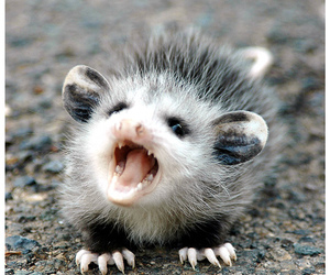 possum and he scream at own ass image