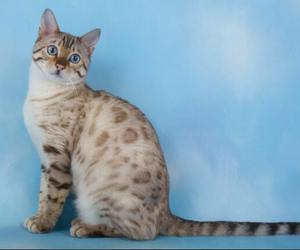 cat, handsome, and blue eyed beauty image