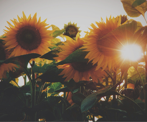 flowers, cute, and sunflower image