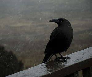 crow, black, and raven image