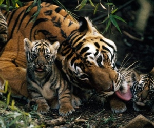 tiger, love, and tigers image