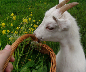 animal, goat, and nature image