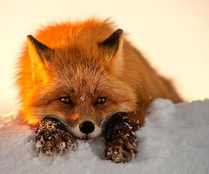 fox, animal, and snow image