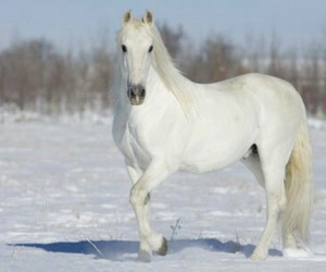horse, white, and andalusian image