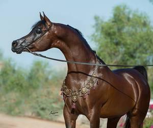 arabian, beauty, and horse image