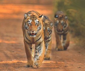 animal and tiger image