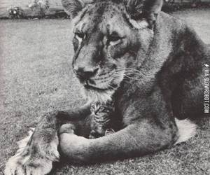 kitty, lion, and cute image