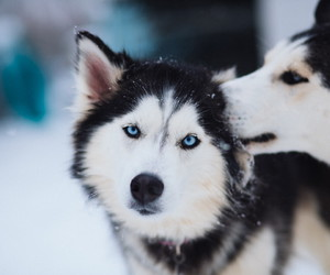animal, husky, and cute image