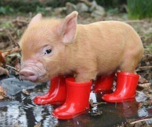 pig, cute, and boots image