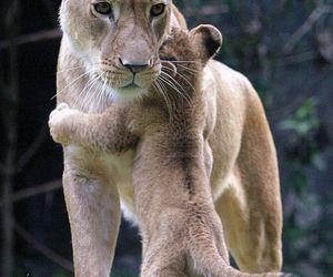 lion, animal, and hug image