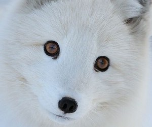 animal, white, and fox image