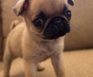 pug, small, and cute image