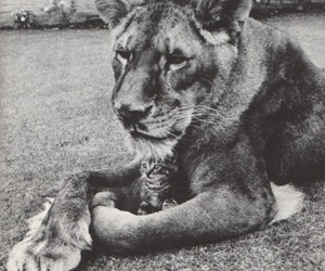 lion, cat, and black and white image