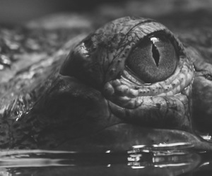crocodile, alligator, and black and white image