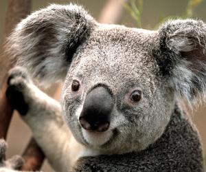 arbre and Koala image