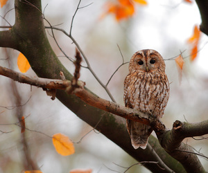 autumn, owl, and tawny owl image