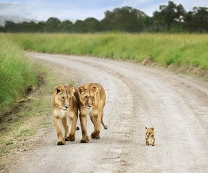 africa, Kenya, and lions image