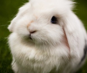 lapin, rabbit, and cute image