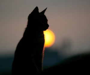 cat, black, and sun image