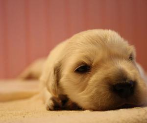 golden retriever, puppy, and my puppy image