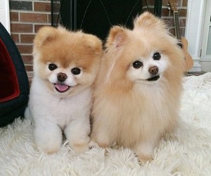 adorable, pets, and pomeranian image