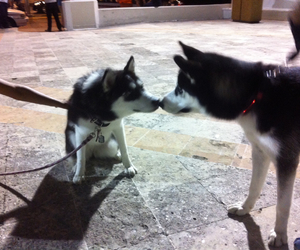 handsome, husky, and girl friend image