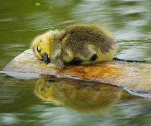 duckling image