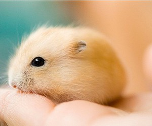 cute, animal, and hamster image