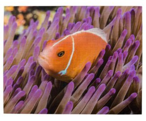 clownfish, reef, and coral image