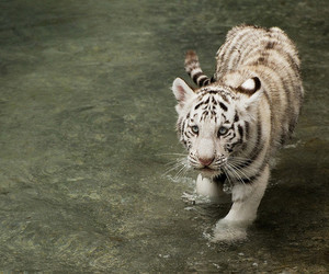 cub and white tiger image