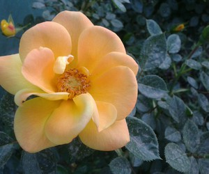naturaleza, nature, and rosa image