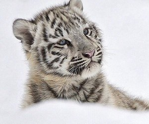 cute, snow, and tiger image