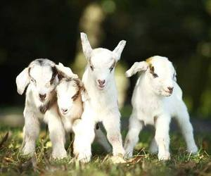 baby animals, goats, and cute animals image